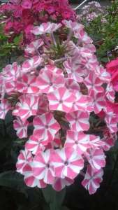 Blüten die wie leckerer Kandis aussehen.